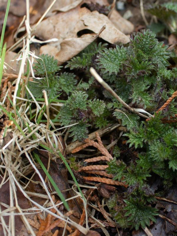 Brännässlor - ätbara ogräs