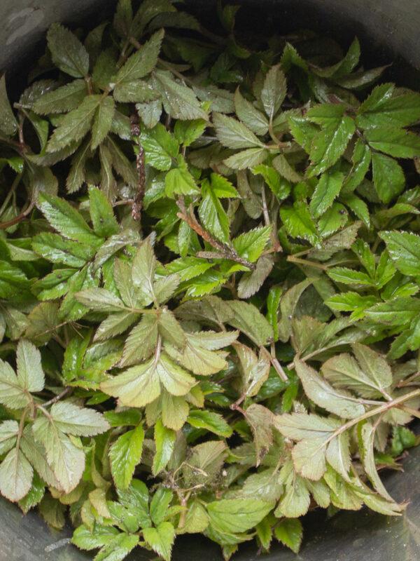 Kirskål - ätbara ogräs
