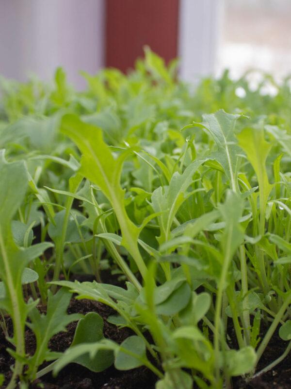 Vintersådda bladgrönsaker