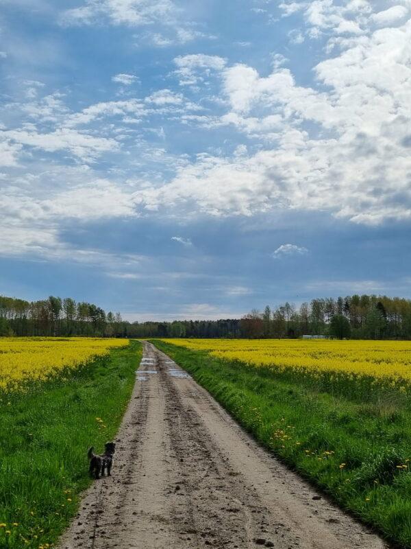 gula rapsfält i maj