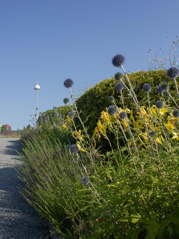 Blå bolltistel och gul daglilja i Kumla sjöpark