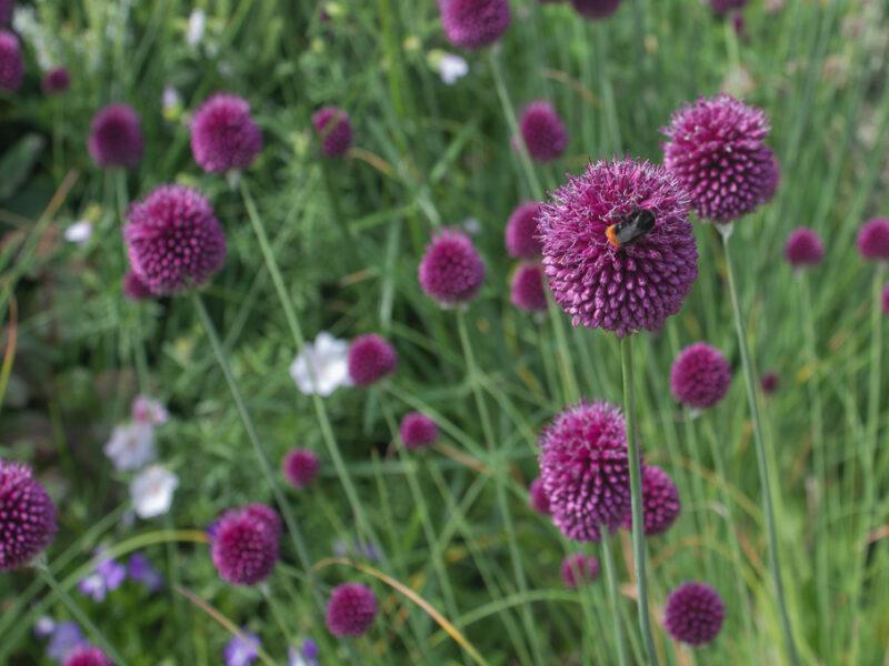 Klotlök och andra prydnadslökar är bra perenner för fjärilar och bin