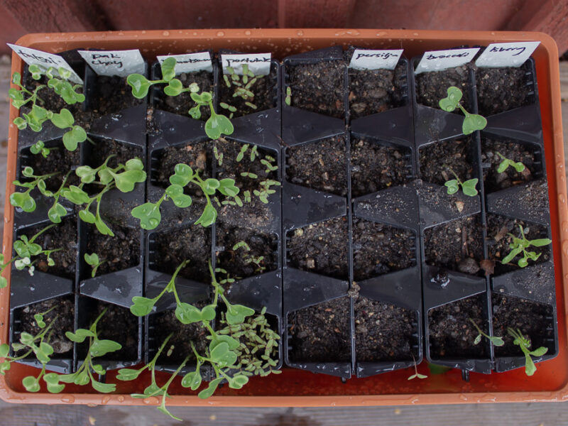 Ny sådd av bladgrönsaker-1