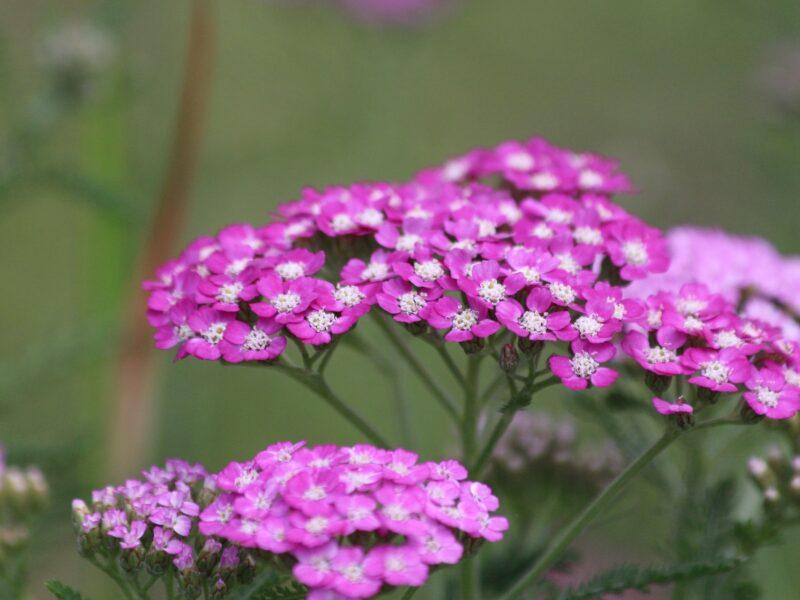 Röllikor är bra perenner för fjärilar och bin