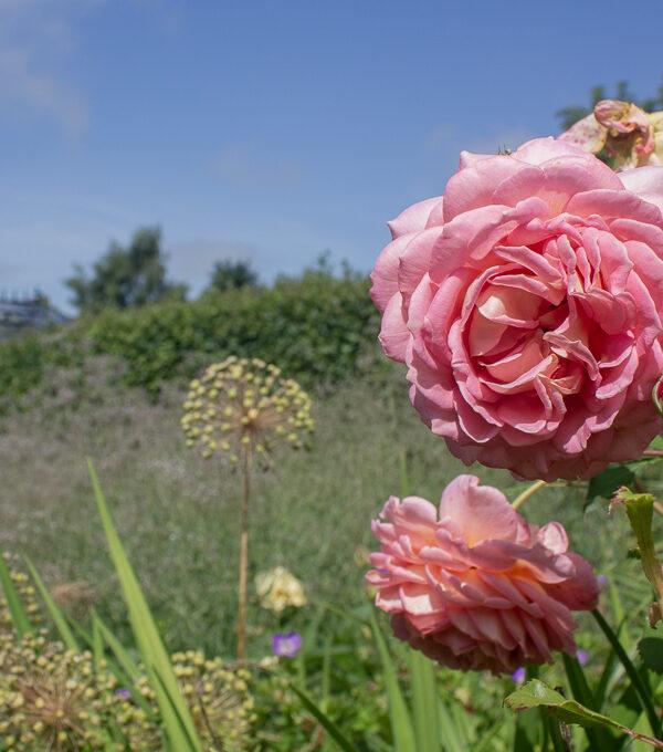 Rosa ros i engelska trädgården