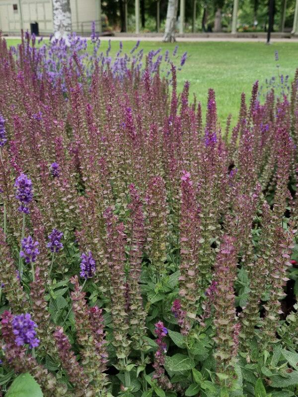 Stäppsalvia i olika färger är bra perenner för fjärilar och bin