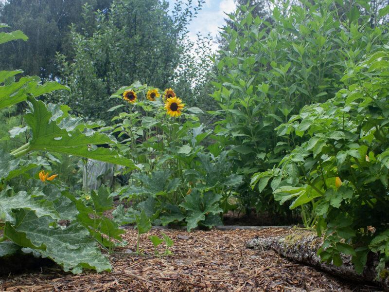 Träflis i köksträdgården är bra för en klimatsmart trädgård