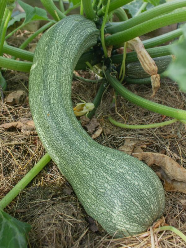 squash min odling juli 2021