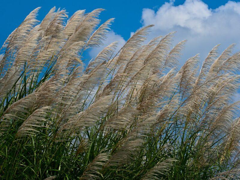 Prydnadsgräs är en central del i en prärieplantering
